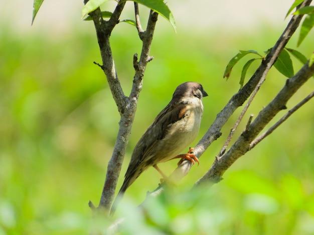 Cute little house sparrow bird on a tree branch