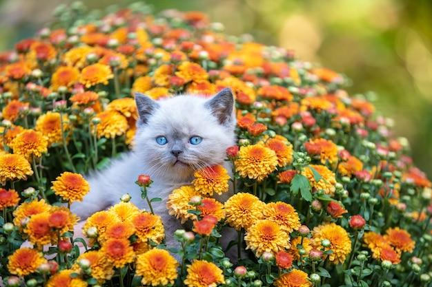 Милый маленький котенок в саду в цветах хризантемы