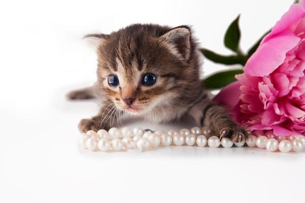 Милый маленький котенок с розовым пионом и жемчугом на белом фоне