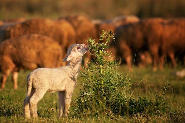 소와 덤 불을 방목하는 귀여운 작은 양