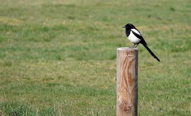 Piccola gazza carina in piedi su un palo di legno rotondo in un campo d'erba