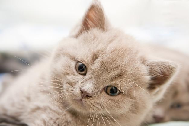 귀여운 작은 신생아 영국 쇼트 헤어 고양이