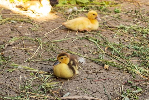 귀여운 작은 갓 태어난 푹신한 오리. 흰색 배경에 고립 된 한 젊은 오리. 좋은 작은 새.