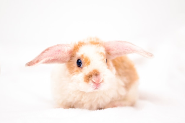 Cute little orange and white color bunny with big ears. rabbit on white background.