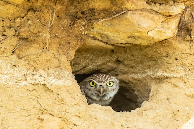 A cute little owl athene noctua looking out from its hole in a wall