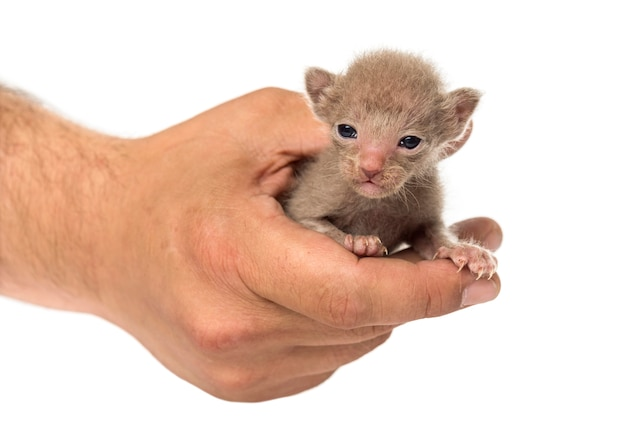 白で隔離、人間の手でかわいいピーターボールドの子猫