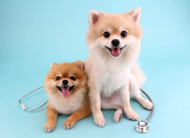 Cute little pomeranian dog with stethoscope as veterinarian on blue
