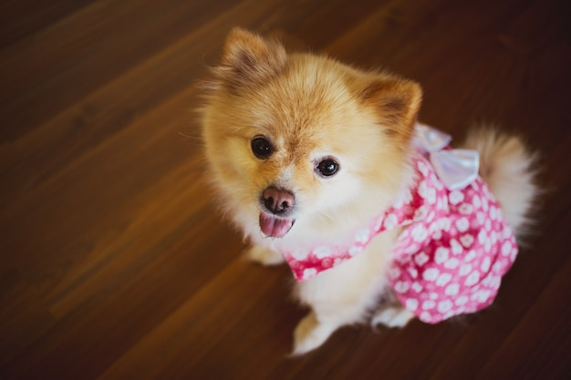 Cute little pomeranian in pink dress.