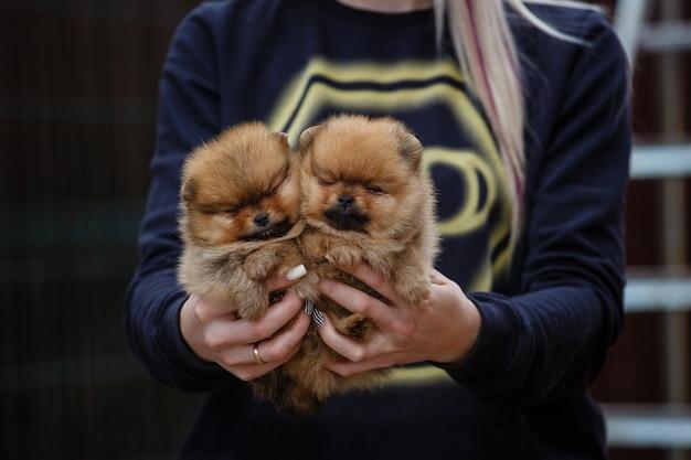 브리더의 손에 귀여운 작은 포메라니안 강아지.