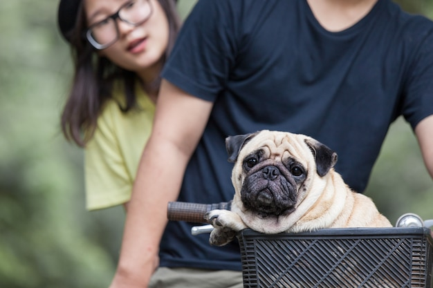 Cute little pug dog in the basket of bicycle with the owner