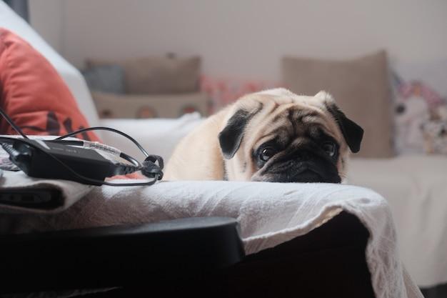 Милый маленький мопс, положив голову на белое полотенце на диване
