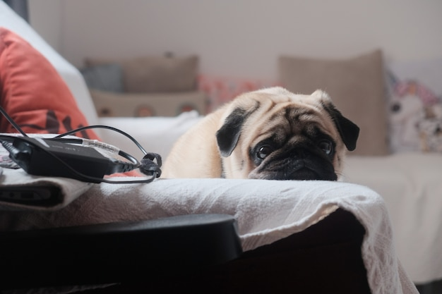 Cute little pug resting its head on a white towel on the sofa