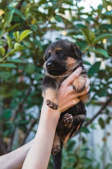 Cute little puppy of german shepherd in hands