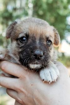 Милый маленький щенок в руках девушки.