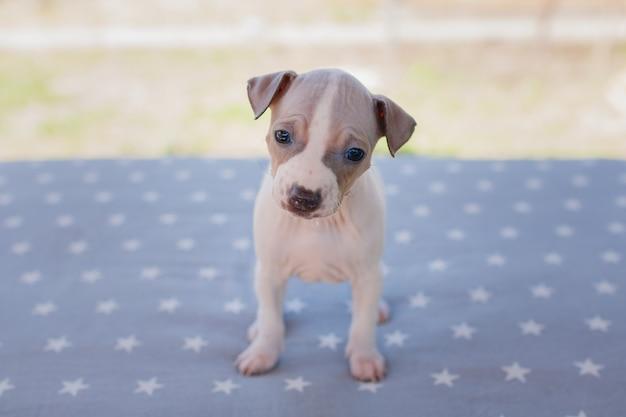 Симпатичный щенок одного месяца (американский голый терьер)