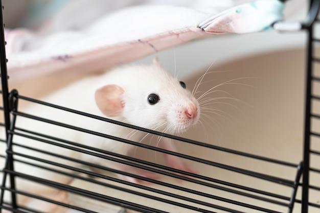 ピンクの鼻と長い口ひげを持つかわいい小さなネズミがケージから覗きます。