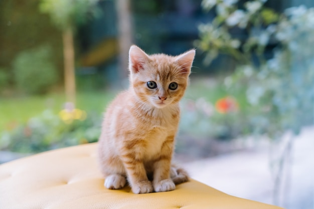 Cute little red cat sitting on yellow chair near window. young cute little red kitty. long haired ginger kitten play at home. cute funny home pets. domestic animal and young kittens.