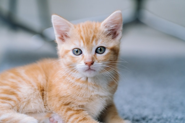 かわいい小さな赤い猫は、ウィンドウと木の床に滞在します。若いかわいい小さな赤いキティ。長い髪の生姜の子猫が家で遊ぶ。かわいい面白い家のペット。家畜と子猫