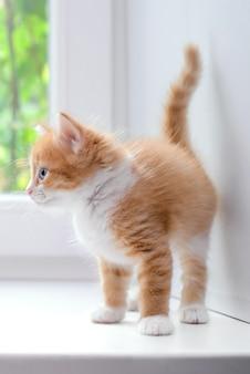 Милый маленький рыжий пушистый котенок на белом подоконнике дома