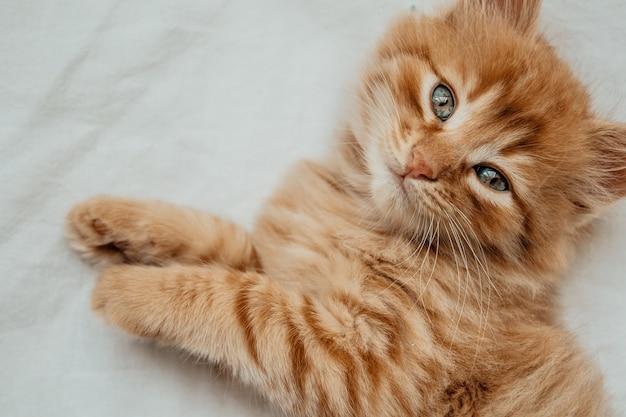 毛皮の白い毛布にかわいい小さな赤い子猫