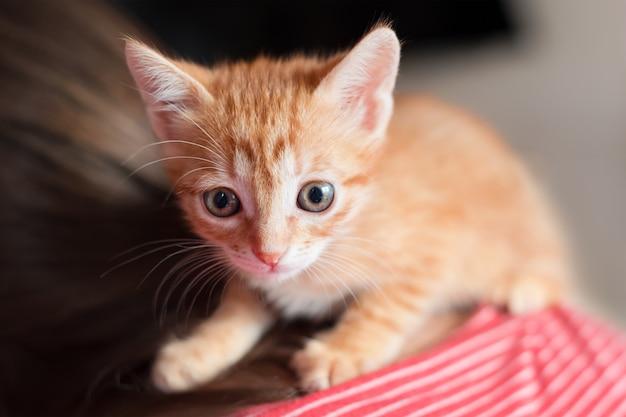 彼の所有者の背中に座っているかわいい小さな赤い子猫。小さな好奇心旺盛な赤い猫。ペットの養子縁組とライフスタイルのコンセプト。