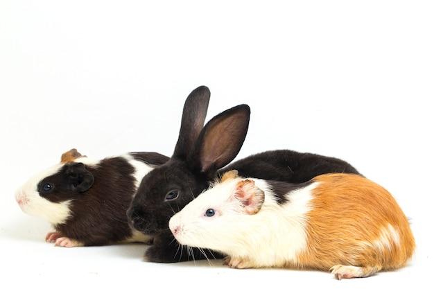 Милый маленький черный кролик рекс и морская свинка