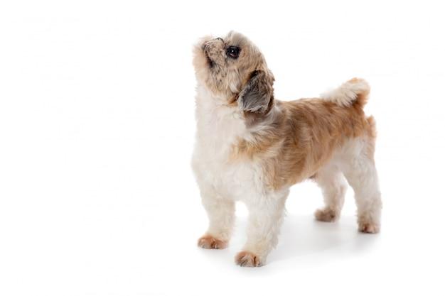 上を見てかわいいシーズー犬