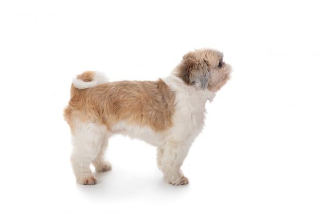 かわいいシーズー犬