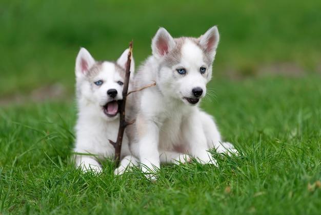 Милый маленький щенок сибирского хаски в траве
