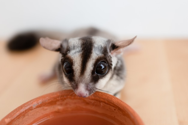 Cute little sugar glider drinks water from earthen ceramic cup.