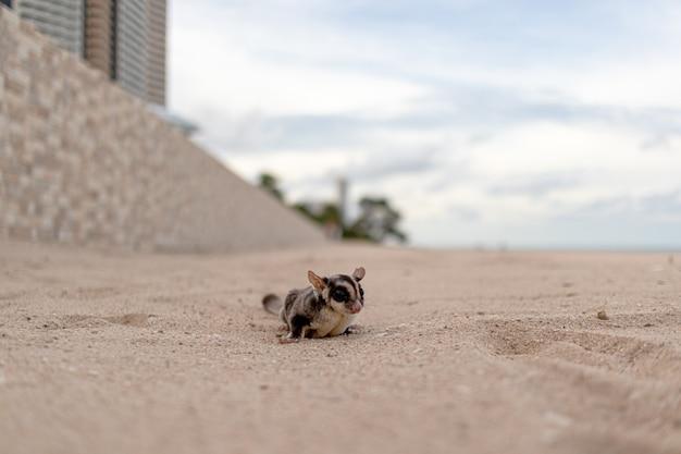 Милый маленький sugar glider гуляет по пляжу.