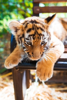 Cute little tiger cub close up