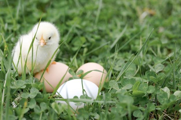 Милый маленький крошечный новорожденный желтый цыпленок и три куриных фермерских яйца в зеленой траве на природе на открытом воздухе