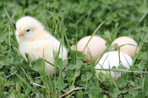 屋外の自然の緑の草のかわいい小さな小さな新生児の黄色い赤ちゃんのひよこと3つの鶏農家の卵
