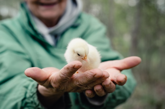 Cute little tiny newborn yellow baby chick in hands of elderly senior woman farmer in nature