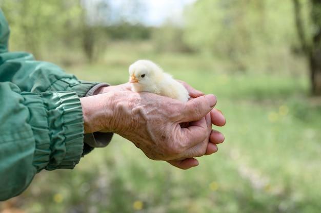 自然の上の年配の年配の女性農夫の手にかわいい小さな新生児黄色の赤ちゃんのひよこ