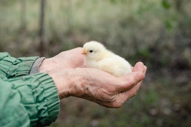 高齢の年配の女性農家の手にかわいい小さな新生児の黄色い赤ちゃんのひよこ