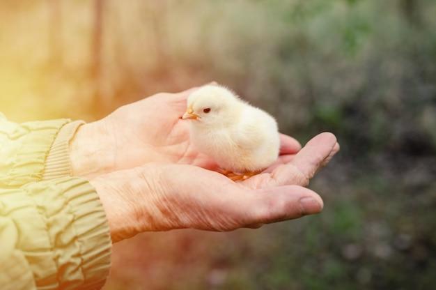 年配の年配の女性の手にかわいい小さな新生児の黄色い赤ちゃんのひよこ。