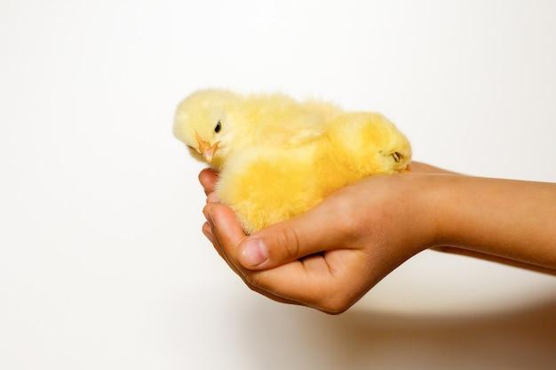 白い背景の上の子供の手でかわいい小さな新生児黄色の赤ちゃんのひよこ