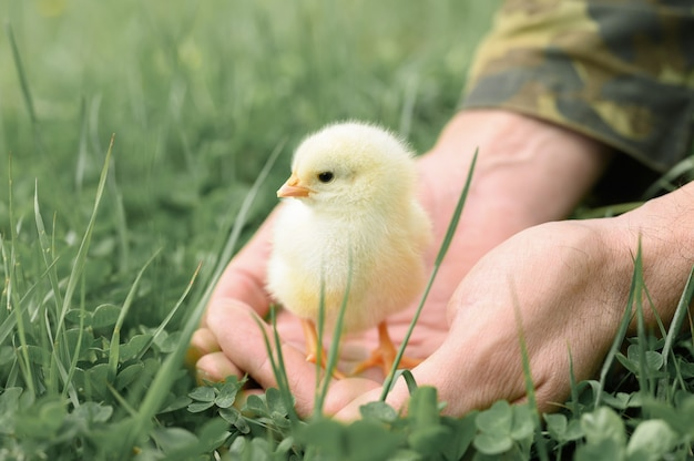 緑の草の上の農家の男性の手でかわいい小さな新生児黄色の赤ちゃんのひよこ
