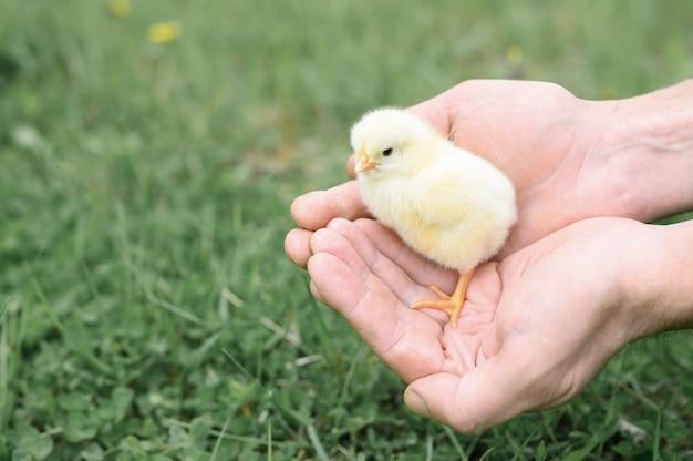 緑の草の上の農夫の男性の手でかわいい小さな新生児の黄色い赤ちゃんのひよこ