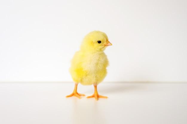 白い背景の上のかわいい小さな新生児黄色の赤ちゃんのひよこ