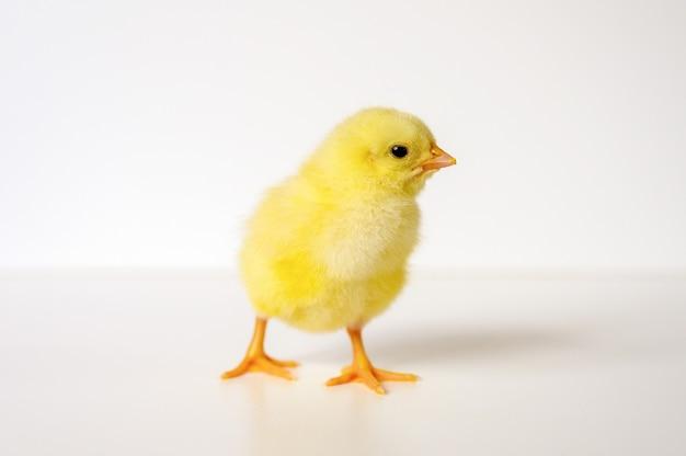 Милый маленький крошечный новорожденный желтый цыпленок на белой стене