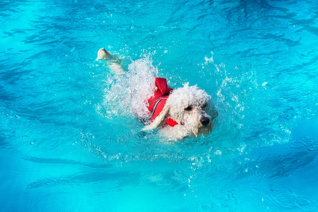 Cute little white poodle swimming in a pool