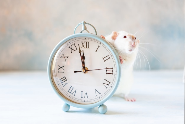 Cute little white rat, mouse sits in  vintage clocks. two  minutes to new year of the rat. chinese new year symbol