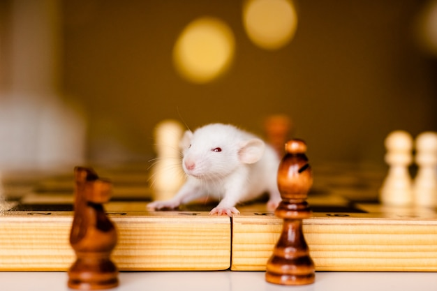 Cute little white rat with big ears siting on the chess board