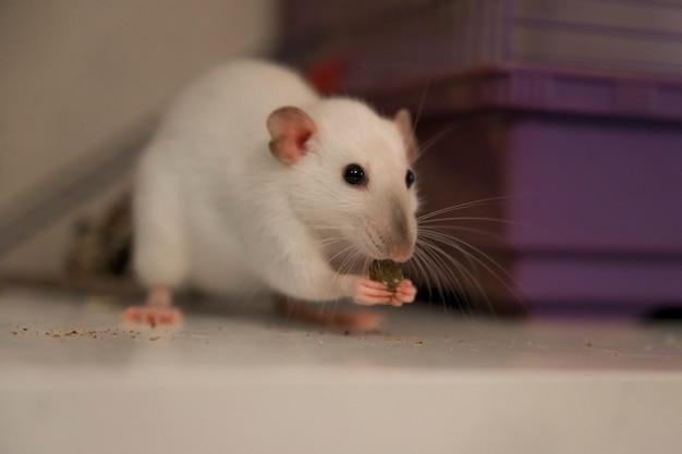 Милая живая белая мышь