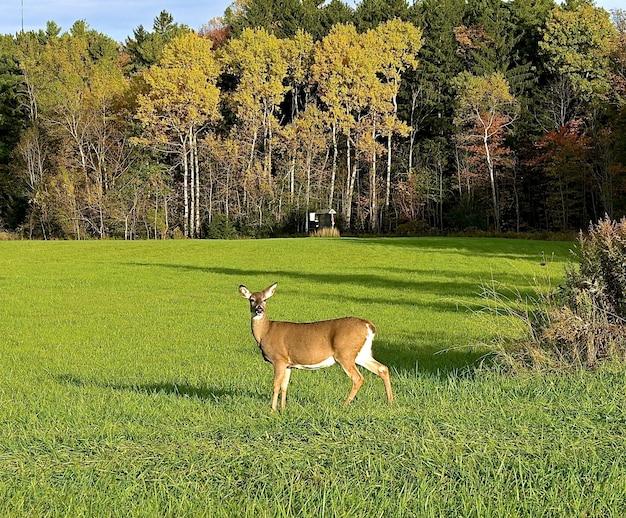 Милый одинокий олень смотрит прямо в камеру в зеленом поле возле высоких густых деревьев