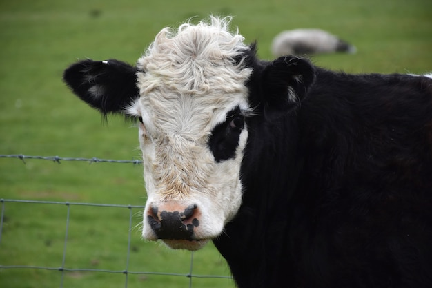 Cute look into the face of a black and white belted galloway calf.