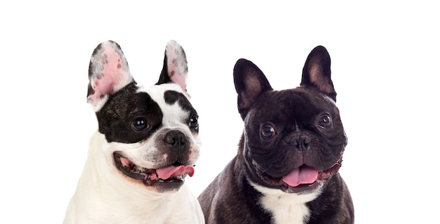 Cute looking black and white french bulldog dogs isolated on a white background